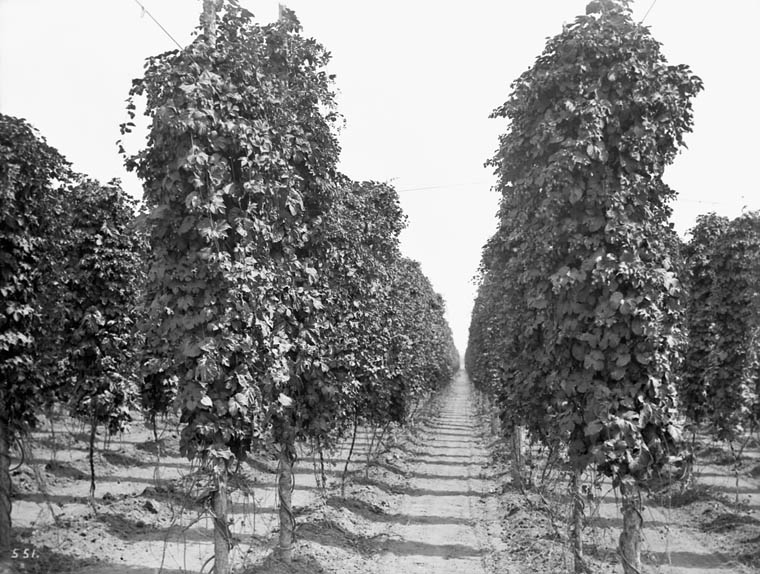 Black and white photo of rows of mature hops fields.