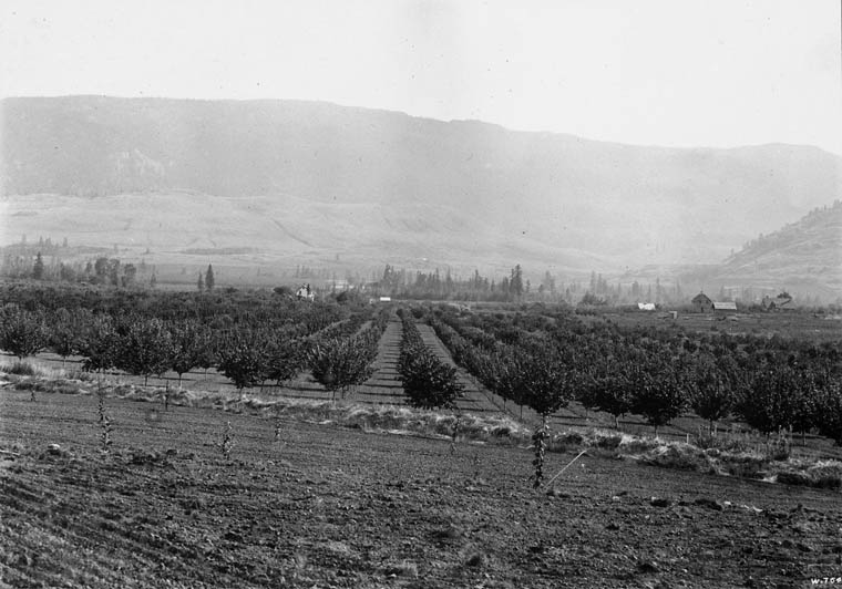Black and white photo of a young fruit orchard with the valley hills in the background.