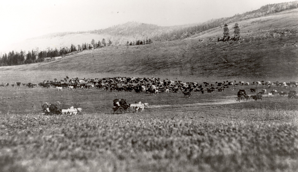 Black and white photo of ranch land with cows. There are three wagons and horses with riders on a road.