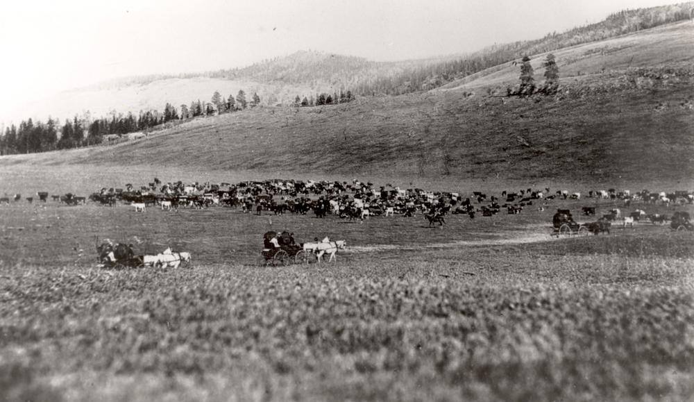 Photo en noir et blanc de pâturages avec des vaches. On voit trois chariots et des chevaux avec des cavaliers sur une route.