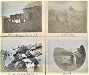 Set of four faded photos. One is of chickens in front of a barn; one is of pigs in a field; one is of cabbages; and one of part of a wooden building in a field.