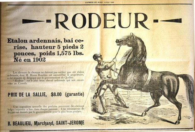 Advertisement that appeared in the newspaper L'Avenir du Nord of May 10, 1906. The ad touts the stud services of an Ardennais stallion named Rodeur, imported from Belgium by the Quebec government. To the right is a drawing of a spirited stallion and a handler pulling on a bridle in an effort to control it.