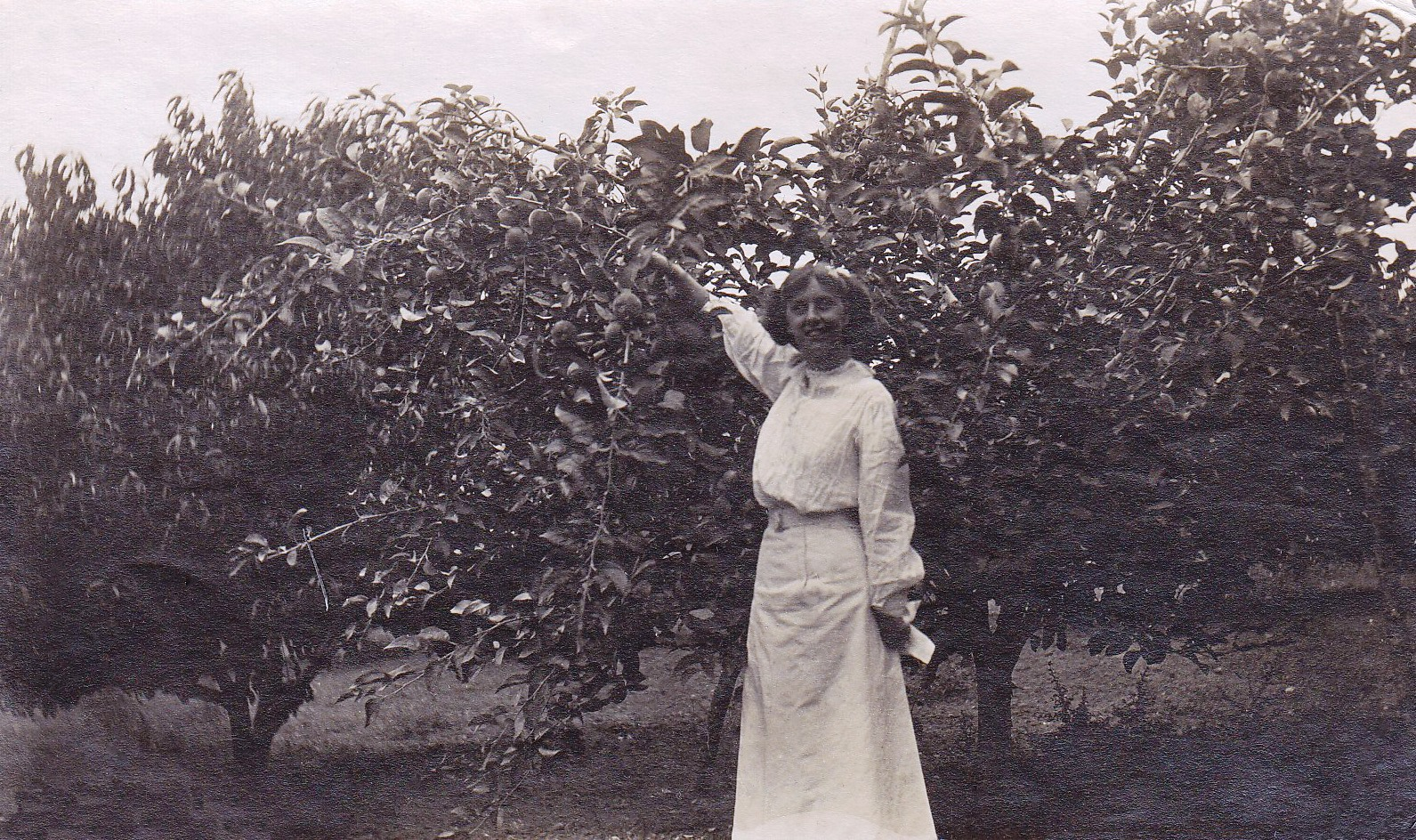Black and white photo of a young woman wearing a white Victorian style blouse and long white skirt standing in front of a medium-sized apple tree and reaching up to pick an apple.