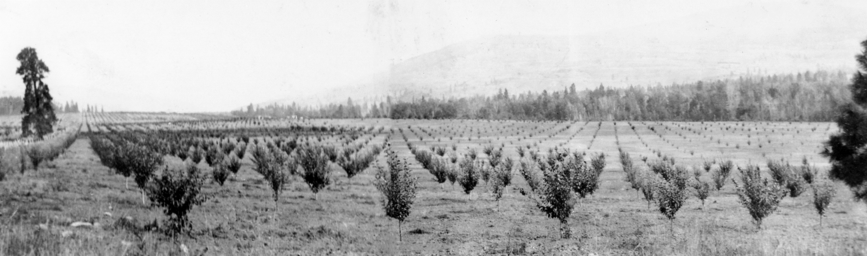 Black and white photo of rows of small, young trees in a large flat field. A forest and hill are in the background.
