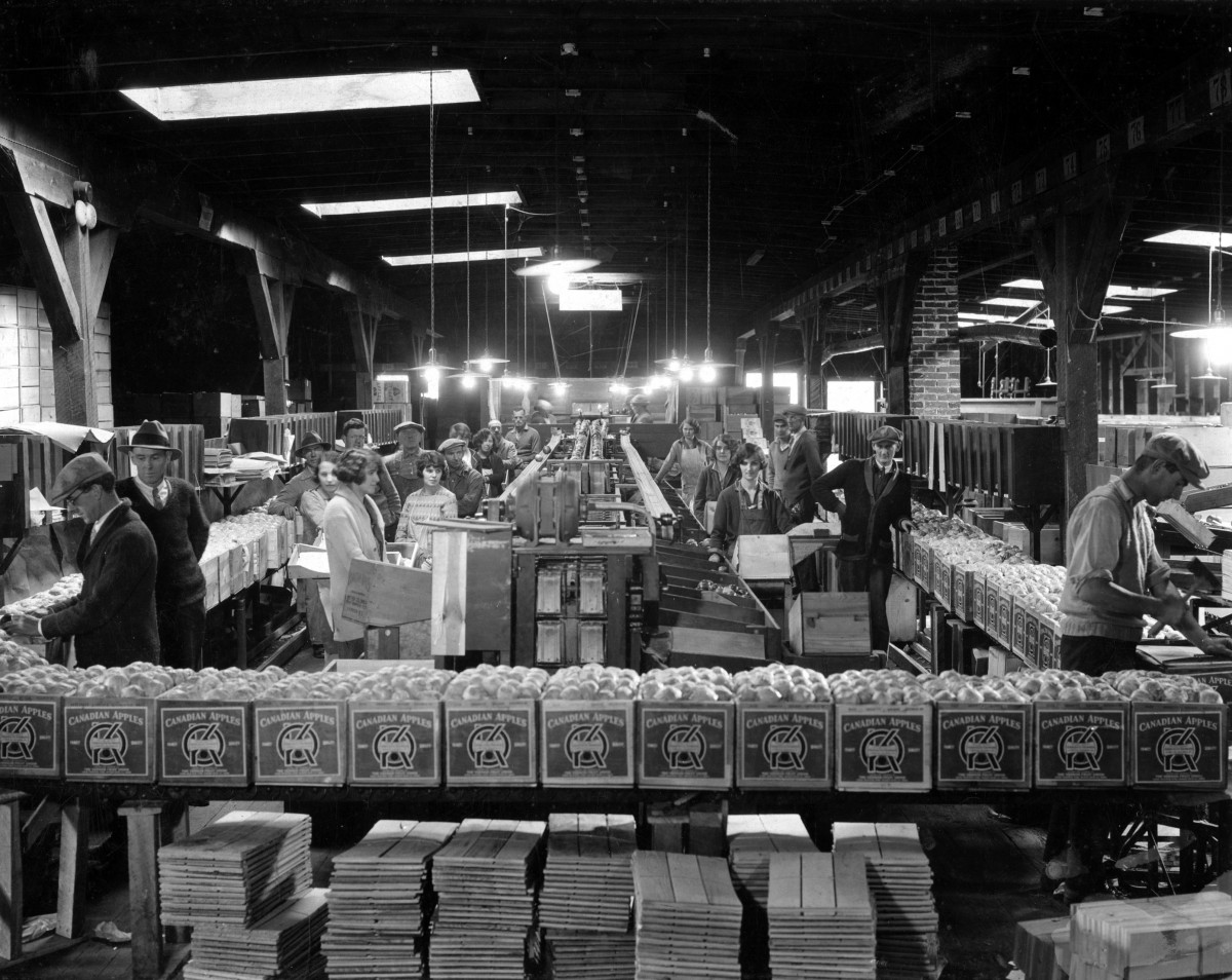 Black and white photo of about twenty men and women working inside an old building. In the foreground is a raised row of boxes filled with apples and labelled OK Brand. Shooks of wood are stacked beneath. Men are looking at apples in boxes or at the photographer. In the centre, women are packing apples along each side of two central conveyor belts. To the right, a man is building an apple box.