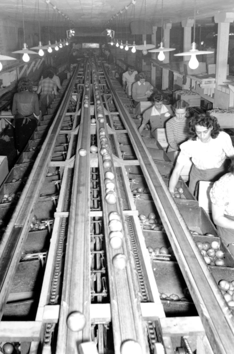 Black and white photo of the inside of a building. Two lines of women are standing at boxes on each side of a centre conveyor belt, with the women on the right facing the camera and the women on the left facing away. Each woman is picking up an apple from the box to her right, wrapping it in tissue, and placing it into a box in front of her.