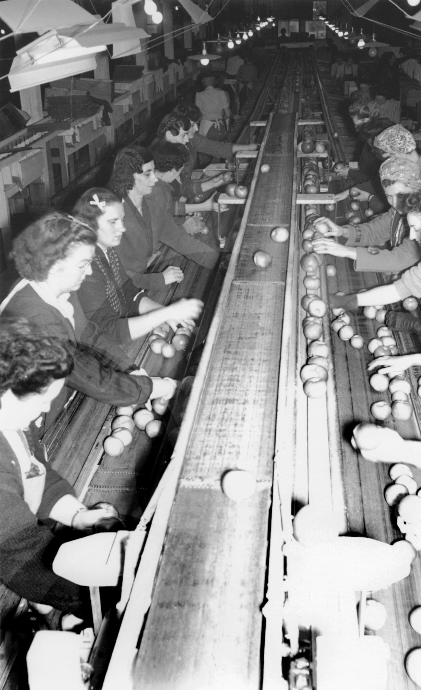 Black and white photo inside a building. Apples are moving along a conveyor belt in the middle and, from each side women are sorting the apples.