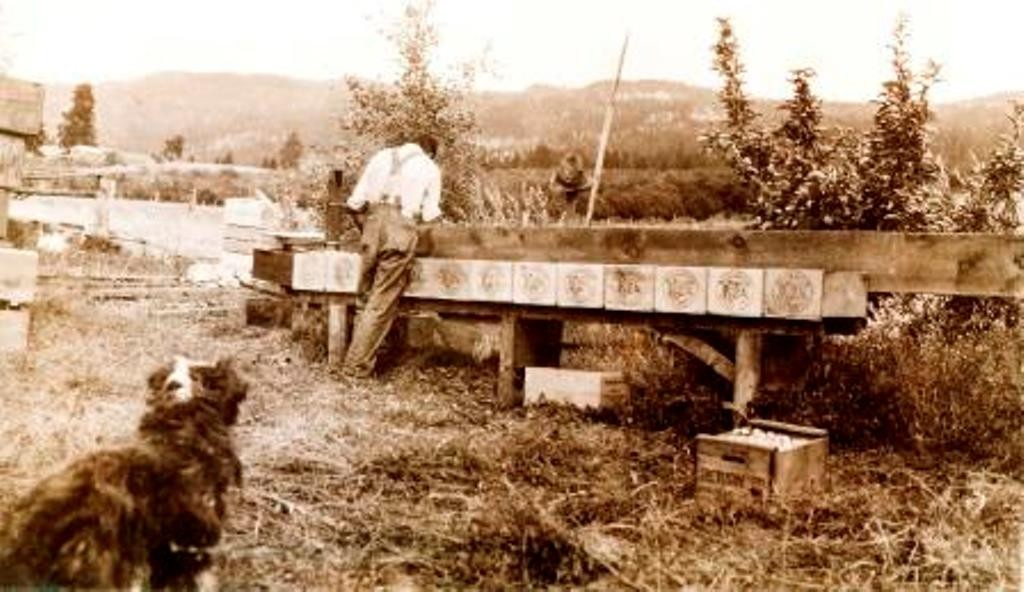 Sepia photo of a man in work clothes standing outside, his back to the photographer. He is packing apples into several wooden boxes on a bench. A black and white dog in the foreground looks at the man.