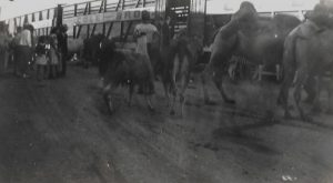 Black and white photo of people gathered in the background while camels, zebras, and llamas are being led in into a train cars with the signs for Cole Bros.
