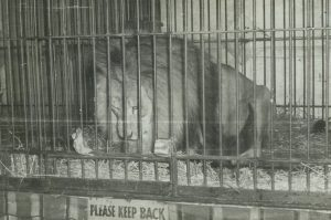 Black and white photo of a lion in a cage, sign below the cage says Please Keep Back