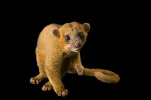 A kinkajou, which has short beige fur with orange tones, little round ears, big brown eyes, little hands, a tail like a monkey, a small mouth and face