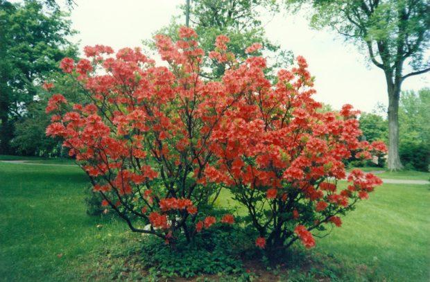 red azaleas in full bloom