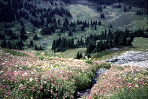 Pink, white and yellow alpine flowers in bloom in the green alpine meadow. Stands of evergreen trees can be seen in the distance.