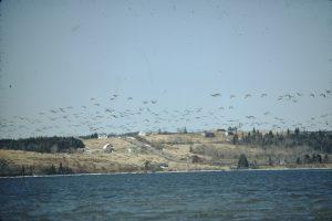 Bernaches du Canada survolant l'eau.