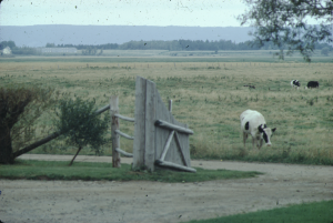 Dyked farmland with cattle