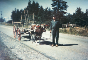 John LaPierre with an ox on a road