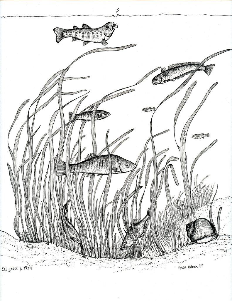 A hand drawing of Salt Marsh fish