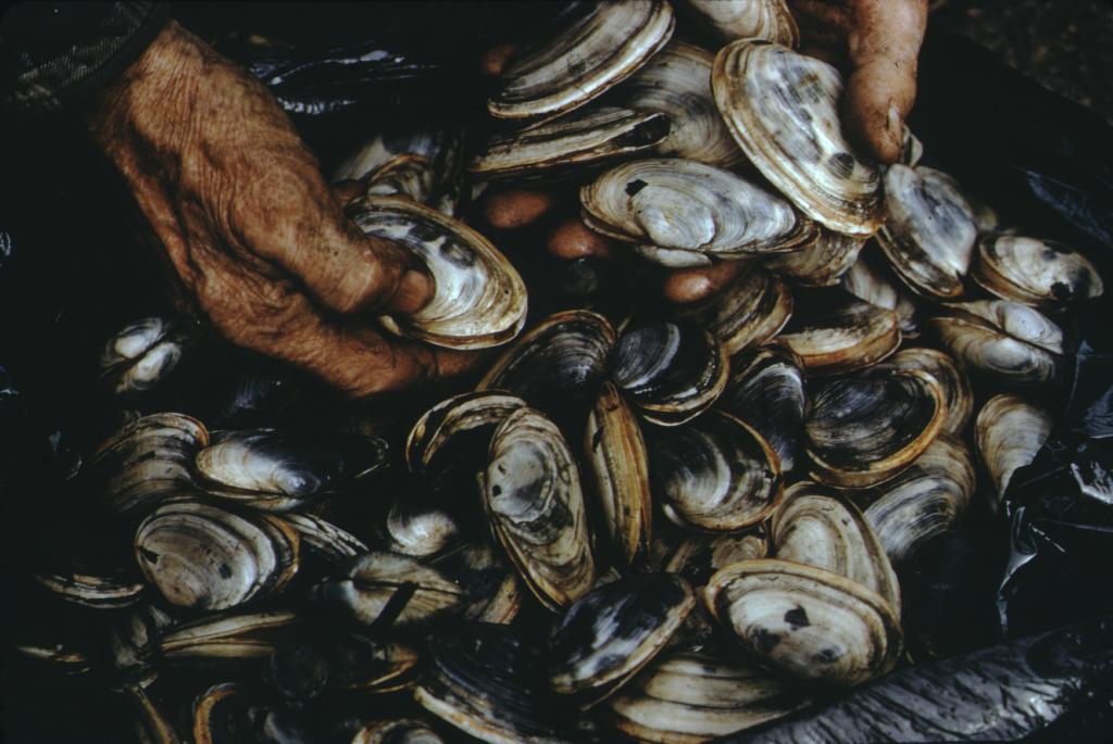 Hands washing clams