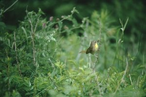 A common yellowthroat in the marsh