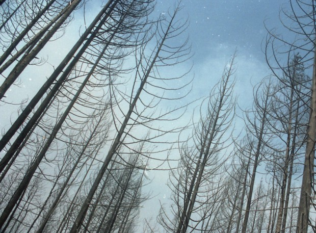 Stand of trees in a forest, burned.
