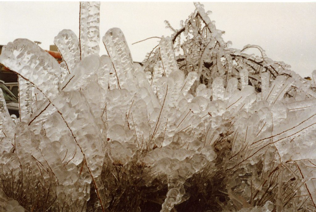 This photo shows the immense accumulation of ice on these stalks.