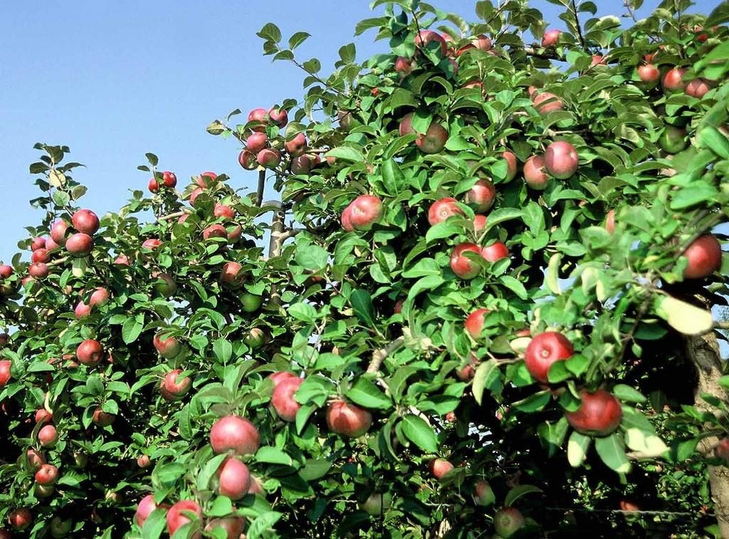 Colour photograph showing red-green apples still on the branches.