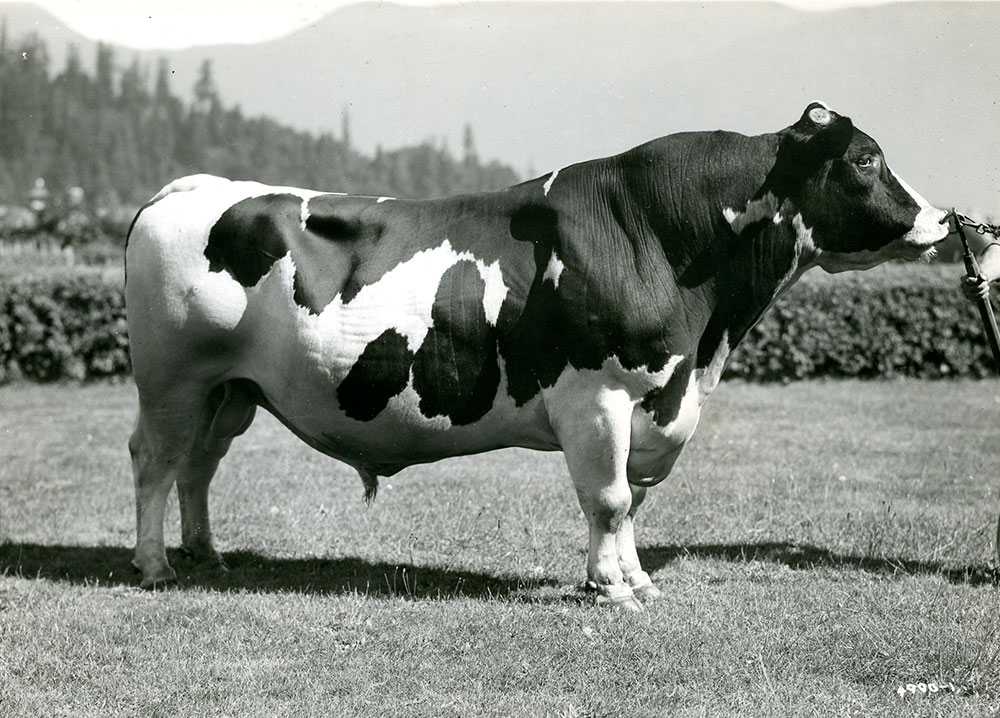 Black and white photograph of a large bull standing in a field outside.