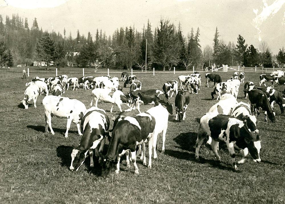Photo en noir et blanc de vaches qui paissent dans un champ.