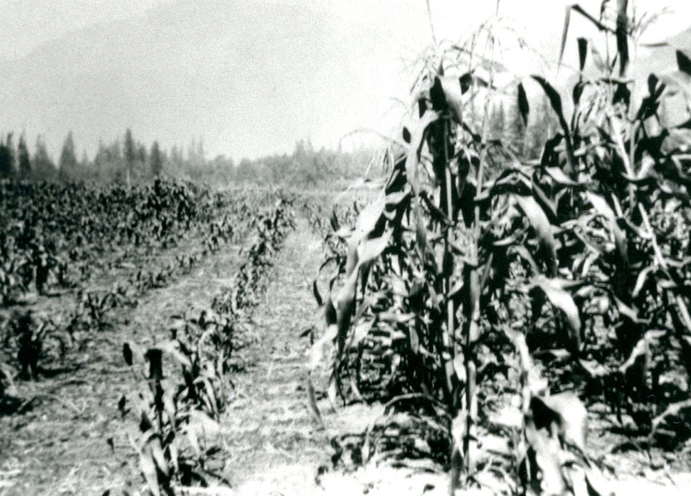 Black and white photograph of a corn field.