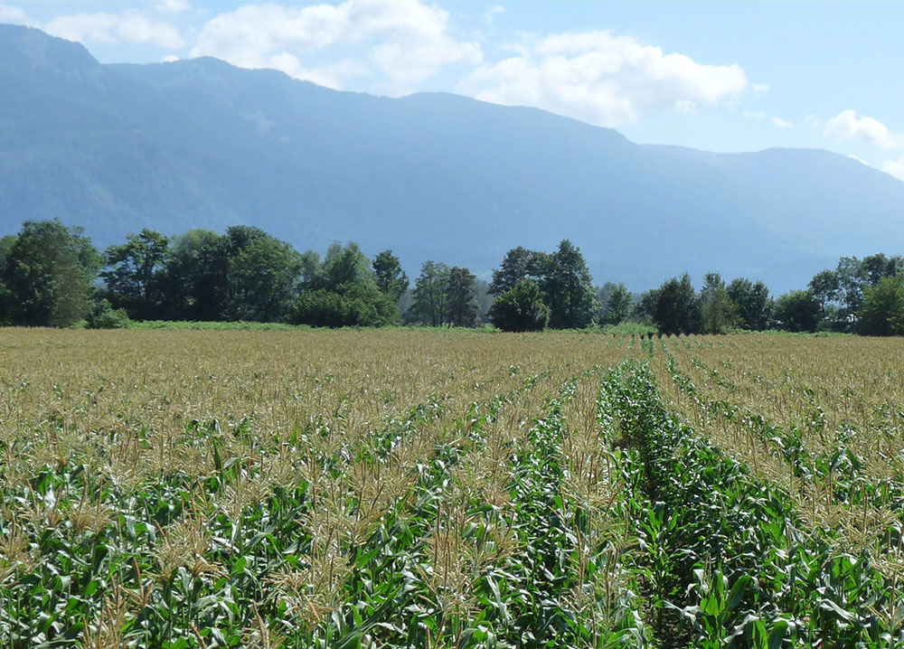 Colour photograph of a corn field on a sunny day with mountains in the background.