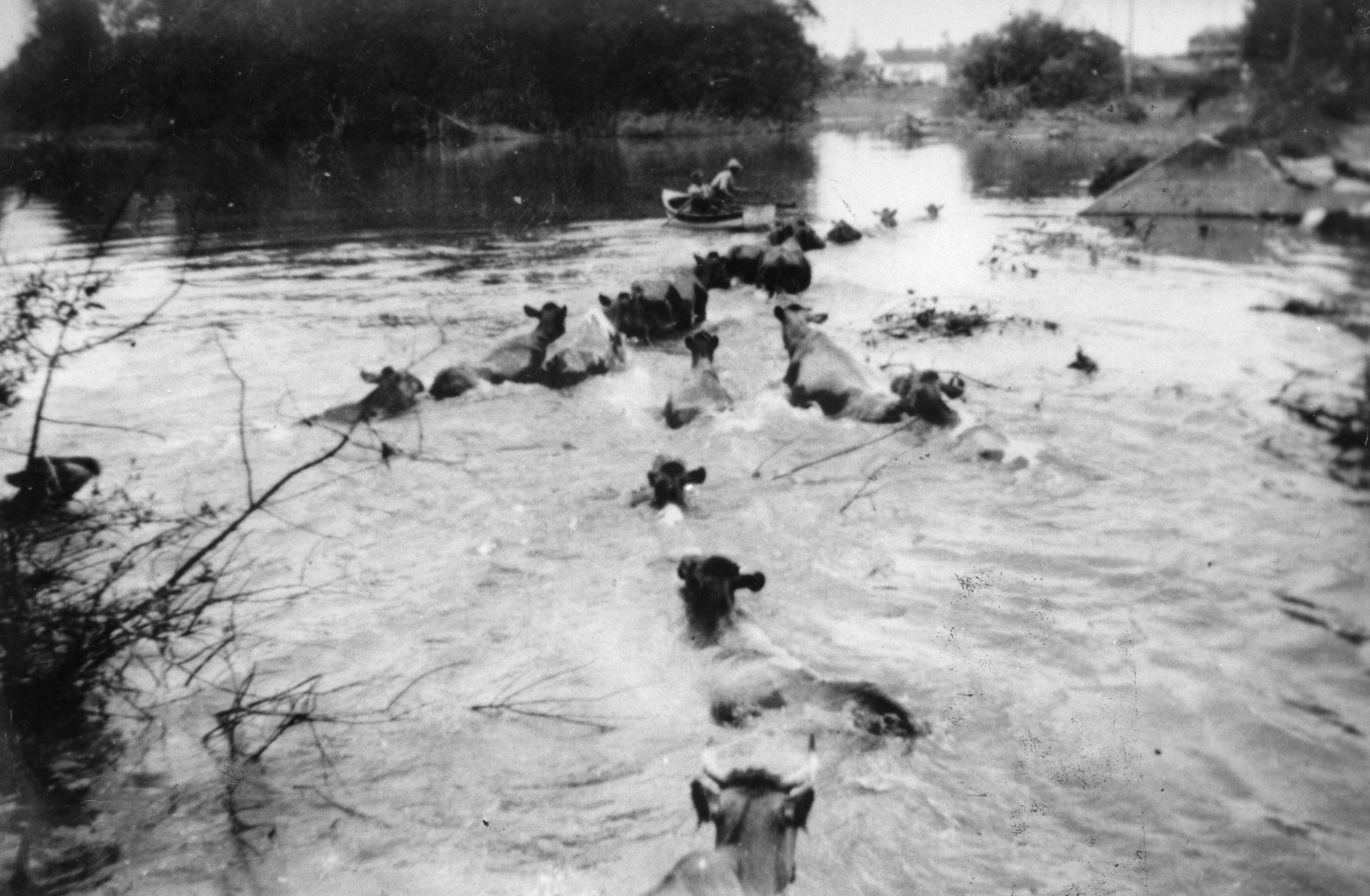 Black and white photograph of cows swimming across flooded farm land, following a row boat.
