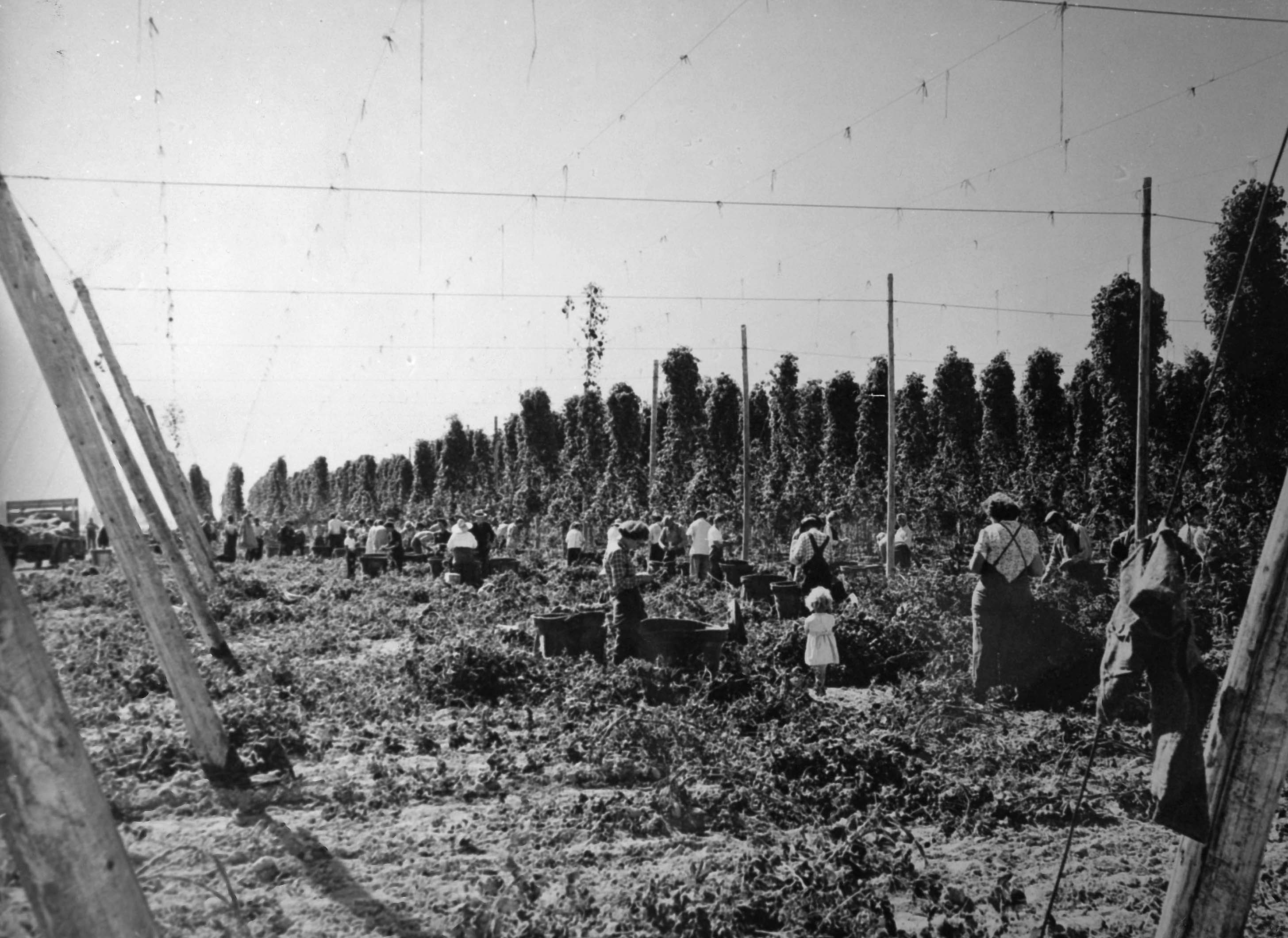 Black and white photograph of children and adults picking hops in a field.