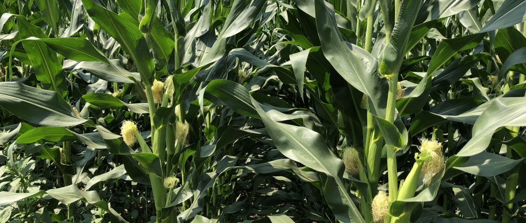 Colour photograph of a field of tall corn stalks with small corn cobs.
