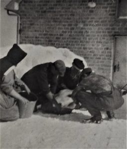 Black and white photo of three men kneeling in the snow around an animal and a woman in religious habit holding a pail.