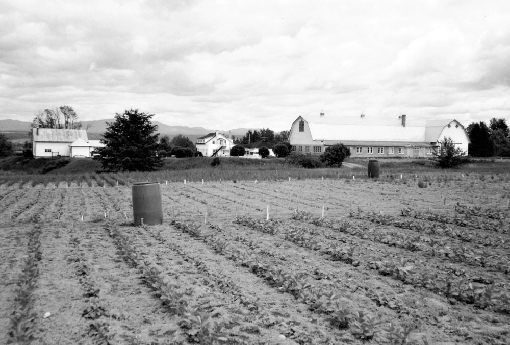 Black and white photo of several rows of vegetables.