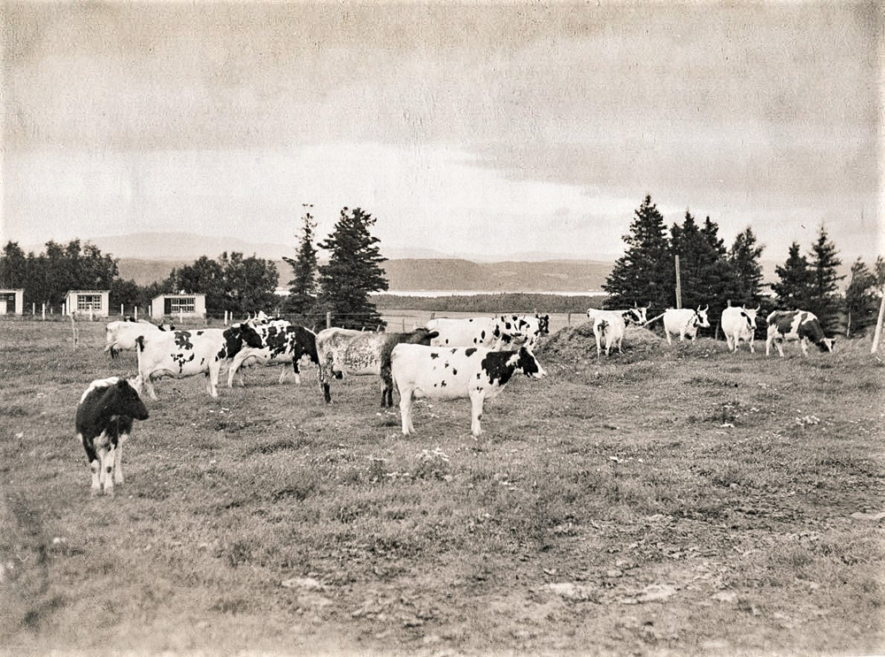 Black and white photo of several cows in a field.