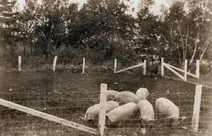 Black and white photo of several pigs in an enclosure