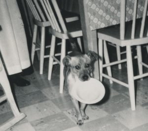 Black and white photo of a small dog in a kitchen holding a white plate in its mouth.