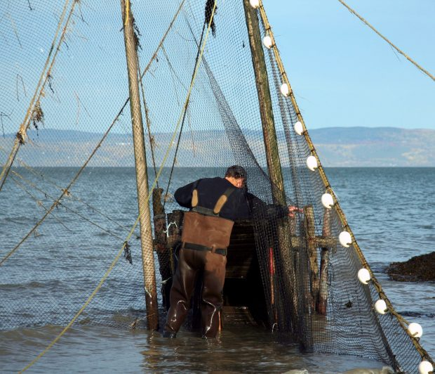 With his back to the photographer, a man wearing boot-foot waders looks at the top of the first funnel (ansillon) of an eel trap. Standing in water to above his ankles, he pushes a fishing net aside with his right hand. Mountains can be seen in the background.