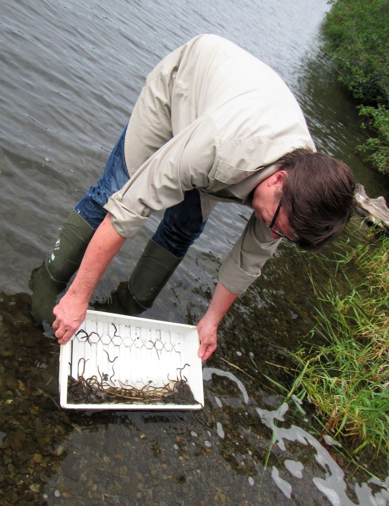 A man holds a white plastic tray, one quarter of which is filled with elvers. He is standing with his feet in the water on the shore of a lake. He tips the tray in order to release the juvenile eels into the lake.