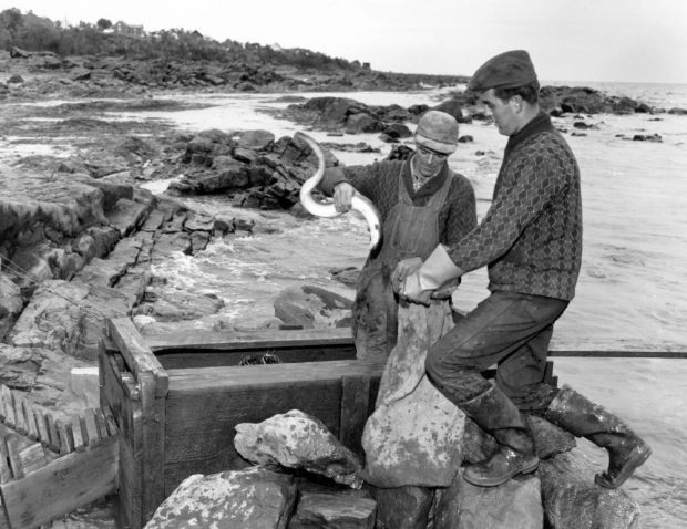 A man stands in the wooden collecting box of an eel weir in a cove. He is holding an eel in one hand and opening a jute bag with the other. A young man standing on the rocks next to the collecting box holds the bag as well. Black and white photograph.