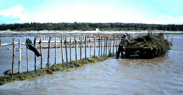 A horse-drawn trailer full of fir boughs is stopped next to a row of stakes extending into the water. The shore can be seen in the distance. Two men standing in the water are removing the boughs from the trailer.