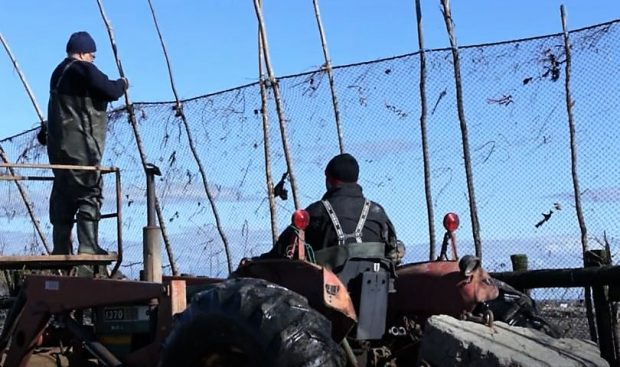 A man drives a tractor beside an eel fishing net while another man, standing in the tractor's bucket, attaches the top of the net to a wooden pole.