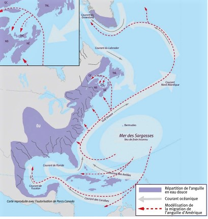 Nautical map of the east coast of the United States and part of Mexico, showing the route followed by eels as they make their way from the Sargasso Sea to the St. Lawrence River and then return to the Sargasso at the end of their life to reproduce. The Sargasso Sea is located in the Atlantic Ocean off the states of Virginia and North and South Carolina.