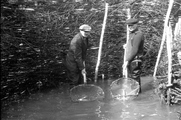Two men stand in ankle-deep water in front of a tall barrier made of branches. Each one is holding a large net containing an eel. Black and white photograph.