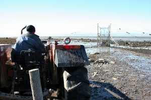 A man, viewed from the back, drives his tractor toward an eel weir. The river can be seen in the background, at low tide.