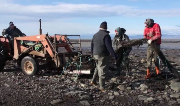 Three men on the shore put a fishing net in the bucket of a tractor driven by a fourth man.