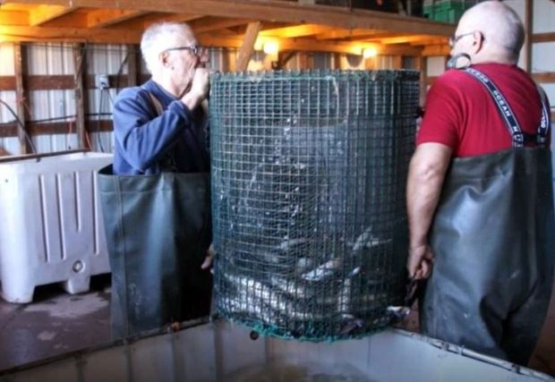 Two men standing opposite one another hold a large round mesh basket containing eels over a tank filled with water.
