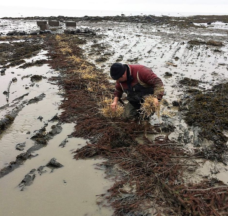 A man crouched on the shore stuffs hay in the holes dug for the stakes and poles of an eel weir, after it has been dismantled.