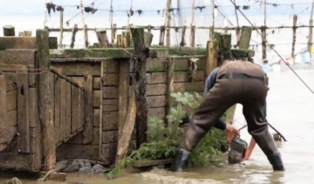 A man wearing boot-foot waders and standing in the water is about to place a rock on fir boughs surrounding a large wooden box that holds eels captive in the weir.